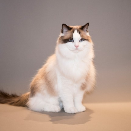 """Christmas Cat"" This Ragdoll purebred has good life in Greenwich, CT."