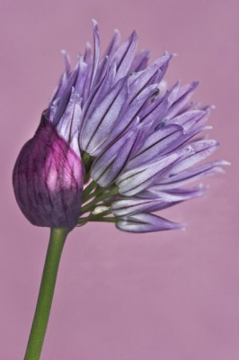 "Allium Schoenoprasum, Archival Giclee Print on Art papper, 14,4"" x 21,6"", Edition of 30 and 3 AP"