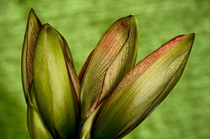 "Amarylis bud, Archival Giclee Print on Art papper, 14,4"" x 21,6"", Edition of 30 and 3 AP"