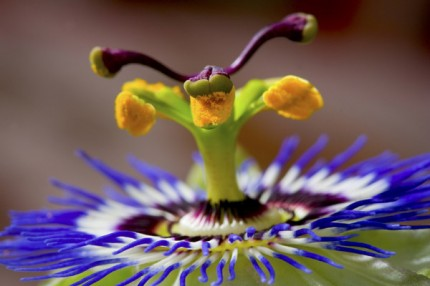 "Passionflower, Archival Giclee Print on Art papper, 14,4"" x 21,6"", Edition of 30 and 3 AP"