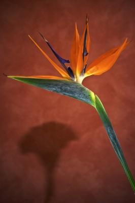 Papegojblomma Strelitzia reginae