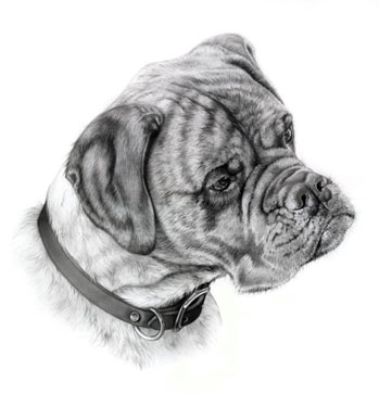 """Bull Mastiff"" graphite on board, 17 x 18 inches"