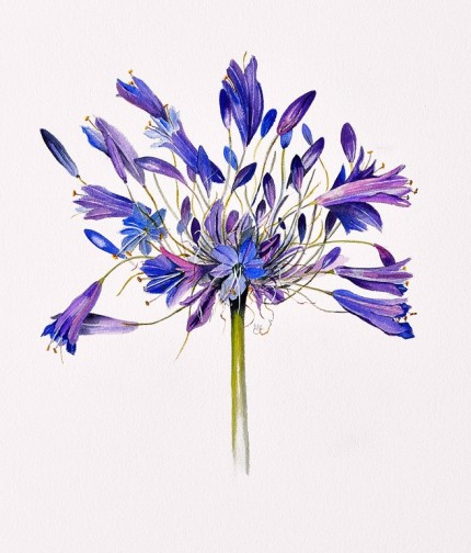 """Agapanthus Northern Star"" Watercolour on paper, 20 x 17 inches, Signed in pencil"