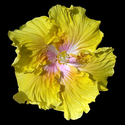 """""""Big Yellow"""" Hybred Hibiscus I grew from a seed. It took two years from seed to first bloom."""