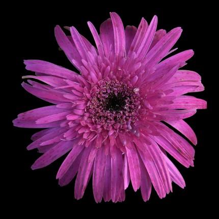 """Purple Daisy"""