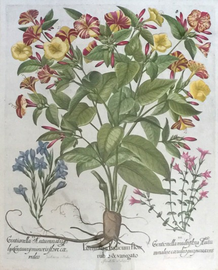 Botanical Prints from Hortus Eystettensis (The Garden of Eichstätt) Hand Coloured Copperplate Engravings, 18.5 x 15.5 inches, 29 x 25 inches, Framed