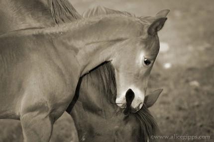 """Horseplay"" Sepia"