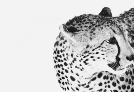 """Cheetah"" Al Ain, UAE 2013, Archival pigment print, 11.7 x 16.5 inches"