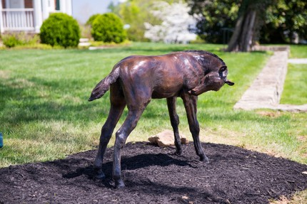 """""""Darn that Itch"""" 2014, Lifesize Thoroughbred Foal, Bronze, Edition 2/5, 31.5 x 36 x 23 inches 
