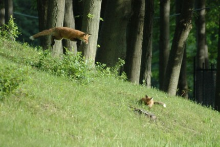 """Leaping Red Fox"" digital photography, 11 x 14 inches, signed"