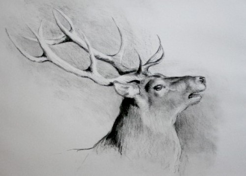"""""""Roaring Stag"""" Charcoal on paper, Signed"""