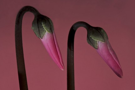 "Two Cyclamen, Archival Giclee Print on Art papper, 14,4"" x 21,6"", Edition of 30 and 3 AP"