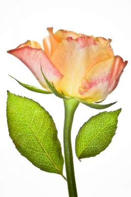 """Rose, Archival Giclee Print on Art papper, 14,4"""" x 21,6""""m, Edition of 30 and 3 AP"""