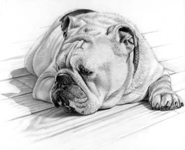 """Bulldog"" graphite on board, 11 x 14.5 inches"