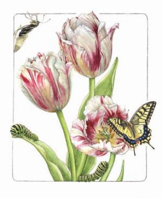 Tulip & Old World Swallowtail, Watercolor on paper, 13 1/2 x 10 1/2