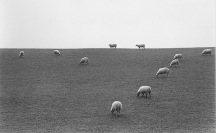 France sheep on hill, The lambing season in the Limousin, One of an extensive photographic essay on the National Stud Farm of Pompadour, France, and its environs, in black and white and color.