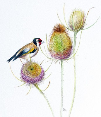 """Goldfinch"" Watercolour on paper, 11.5 x 10 inches, Signed in pencil"