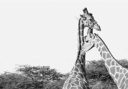 """Giraffe"" Sir Bani Yas Island UAE 2014, Archival pigment print, 11.7 x 16.5 inches"