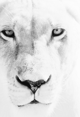 """Lioness I"" Al Ain, UAE 2013 Archival pigment print, 11.7 x 16.5 inches"